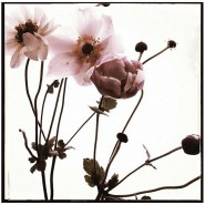 Bryant_Elizabeth-Pink-Anemone-Black-Border